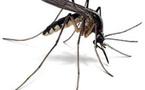 De l'homéopathie pour éviter les piqûres de moustiques