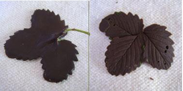 astuce chocolats maison : empreinte de feuille en chocolat, c'est facile et le résultat est bluffant !
