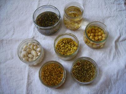 Mes graines germées... de bonnes petites pousses !