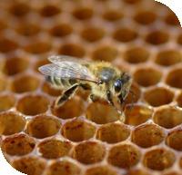 Les abeilles sont menacées. Certains spécialistes craignent même leur disparition...