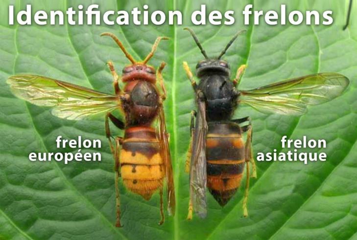 Réalisez un piège contre les frelons asiatiques pour protéger les abeilles.